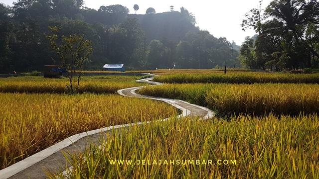 sawah instagramable di Ngarai Sianok